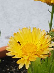Set58 Ringelblume gelb - Calendula officinalis