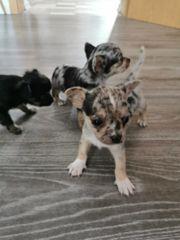 Süße Chihuahua Babys