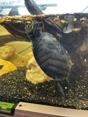 Hyroglyphen-Schmuckschildkröte