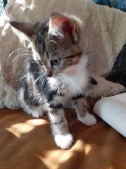 Tigerchen Edelmix-Kätzchen Norwegische Waldkatze Hl