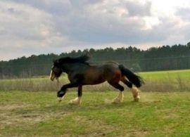 Deckhengst Shire Horse: Kleinanzeigen aus Baruth Klein Ziescht - Rubrik Pferde