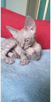 Reinrassige Canadian Sphynx Kitten