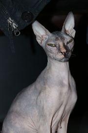 Don Sphyx Katze