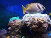 Kopfbandkaninchenfisch