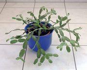 Zimmerpflanzen Weihnachtskaktus Osterkaktus Kaktus Ampelpflanze