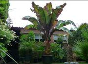 Rote Banane Musa Ventricosum