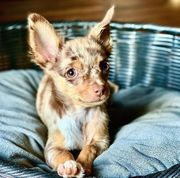 Chihuahua Schokomerle Deckrüde