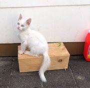 Weiße Katze mit Blaue Augen