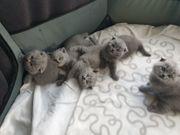 BKH Kitten Scottish Fold 1