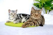 Reinrassige BKH Kätzchen 6 Monate