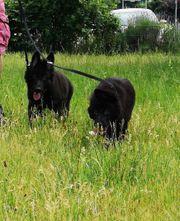 4 Monate alte Langhaar Schäferhunde