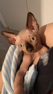 Sphynx Canadian Kitten