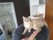Bkh kitten Golden Tabby Classic