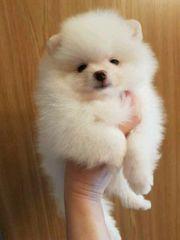 Zwergspitz Pomeranian Welpen zu Verkaufen