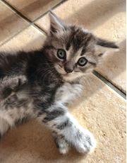 Wunderhübsche verschmuste BKH-Mix-Kitten