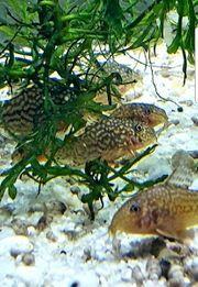 Panzerwelse Corydoras Sterbai Orangeflossen Panzerwels