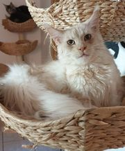 Maine Coon Lady jung mit