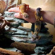 3 Leopardgeckos Terrarium