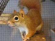 Hörnchen aus Süd Amerika