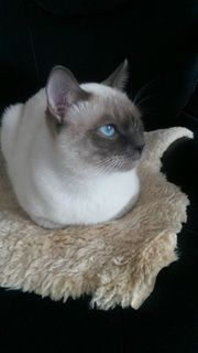 Deckkater mit blauen Augen Geeignet