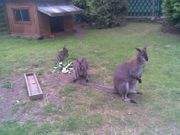 Bennett - Känguru