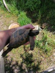 testudo hercigovinensis Männchen Dalmatienische landschildkröte