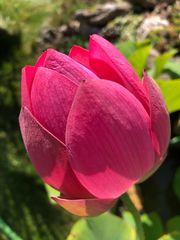 Pflanzen für Gartenteich Lotos Lotus