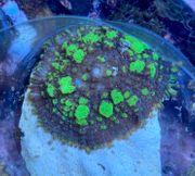 RARITÄT Meerwasser Rhodactis Bubble Bounce