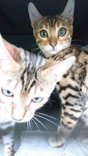 Bengalkatzen suchen Bestplatz