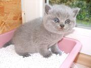 Süße reinrassige BKH- Kitten Katzenbabys