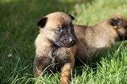 Malinois Belgischer Schäferhund KNPV Ring-Blut