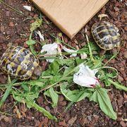 Schildkröten Nachzucht aus 2020