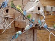 Nestjunge Wellensittiche Kanarienvögel Nymphensittichpaar
