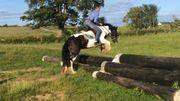 Pinto Pony Stute ca 1