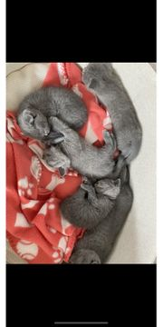 BKH Kitten ab 01 10