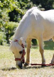 Pflegebeteiligung Reitbeteiligung Ponys für Kinder