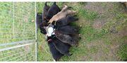 X-Hollandse Herder Welpen