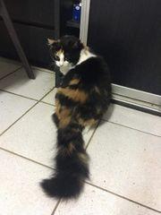 wunderschöne langhaarige Katze