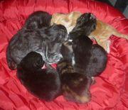 BKH Coonie Mix Kitten