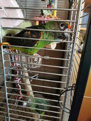 2 junge Kongo Papagei
