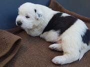 Kaukase Owtscharka Herdenschutzhund Welpen Mischling