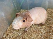 Skinny Pig Zucht Meerschweinchen von