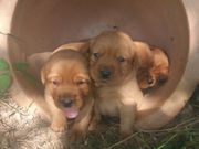 Traumhafte Labrador Welpen in foxred
