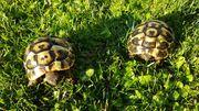 Verkaufe Schildkröten