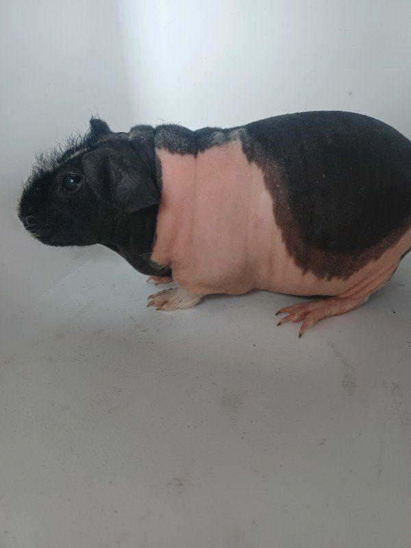 Zauberhafte Skinny Pig , Nacktmeerschweinchen, Meerschweinchen