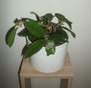 Wachsblume Porzellanblume Hoya carnosa in