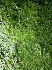 Wasserlinsen Lemna ca 5000 Stk