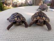 griechische Landschildkröten paar