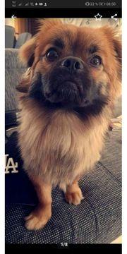 Langhaar Chihuahua pekinese Deckrüde