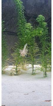Axolotl Starter Sets Abzugeben